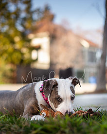 Pit Bull Puppy Lying in Grass with Giraffe Toy