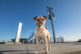 Senior Pug Mix Standing Out Front at Pier 27 in SF