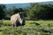 White rhinoceros, Ceratotherium simum, Amakhala Game Reserve, South Africa