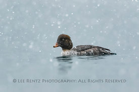 Female Barrow's Goldeneye on Lake O'Hara in Yoho National Park