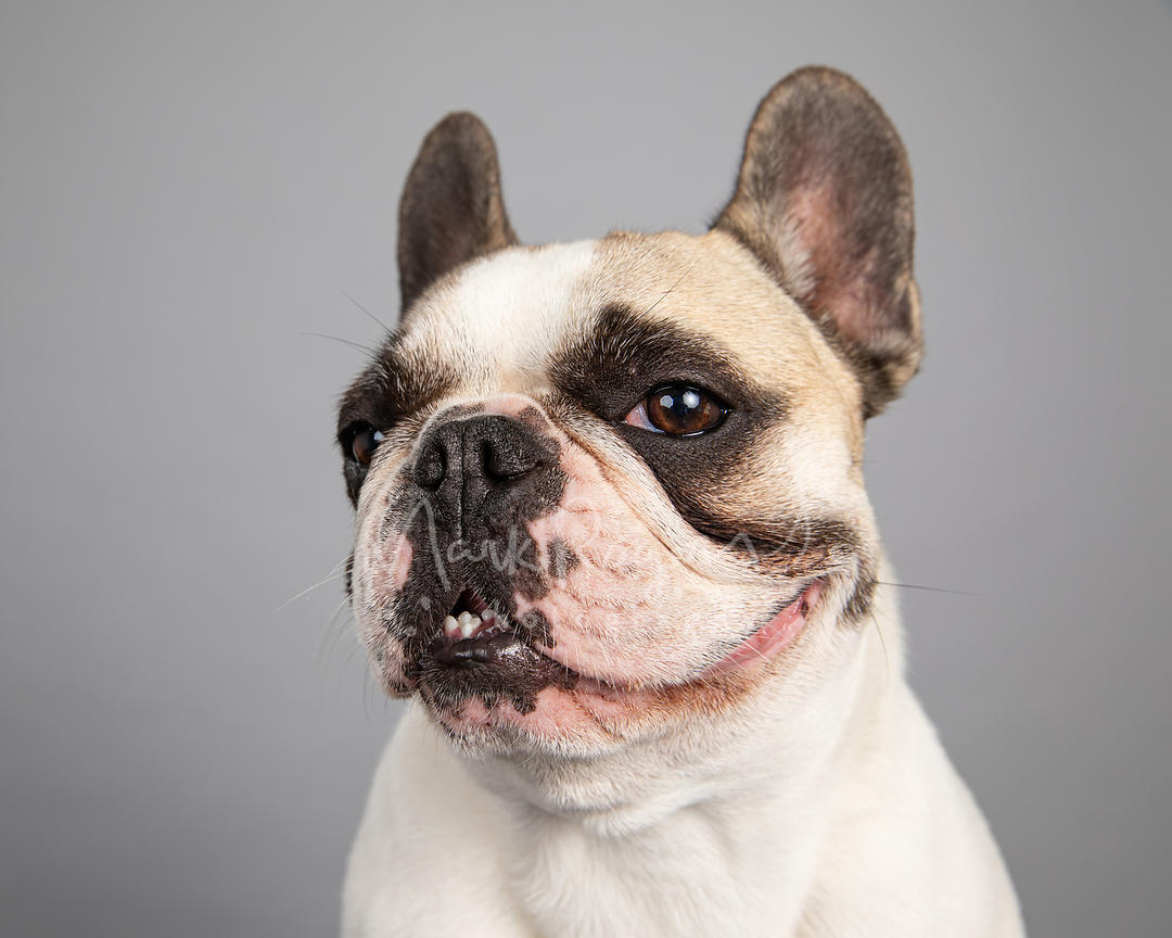 Sly French Bulldog Studio Portrait Turning Left on Gray Blackground