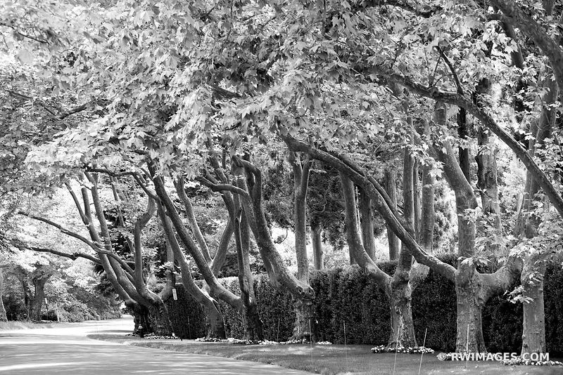 TREES RESIDENTIAL STREET SOUTHAMPTON LONG SLAND BLACK AND WHITE