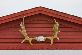 Moose Antlers at English Harbour, Newfoundland