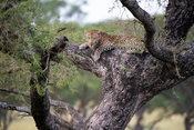 Leopard in a tree, Panthera pardus, Murchison Falls National Park, Uganda
