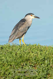 Black-crowned Night Heron, Don Edwards San Francisco Bay Wildlife Refuge, Alviso, CA, USA