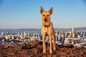 Red Hound Mix Dog on Rocky Hill in San Francisco