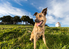 Brindle Shepherd Mix Dog with Golden Eyes Looking to Left in Grassy Park