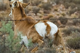 Pronghorn Squeezing Under Fence near City of Rocks State Park, New Mexico
