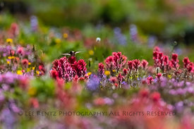 Rufous Hummingbird in the Goat Rocks Wilderness