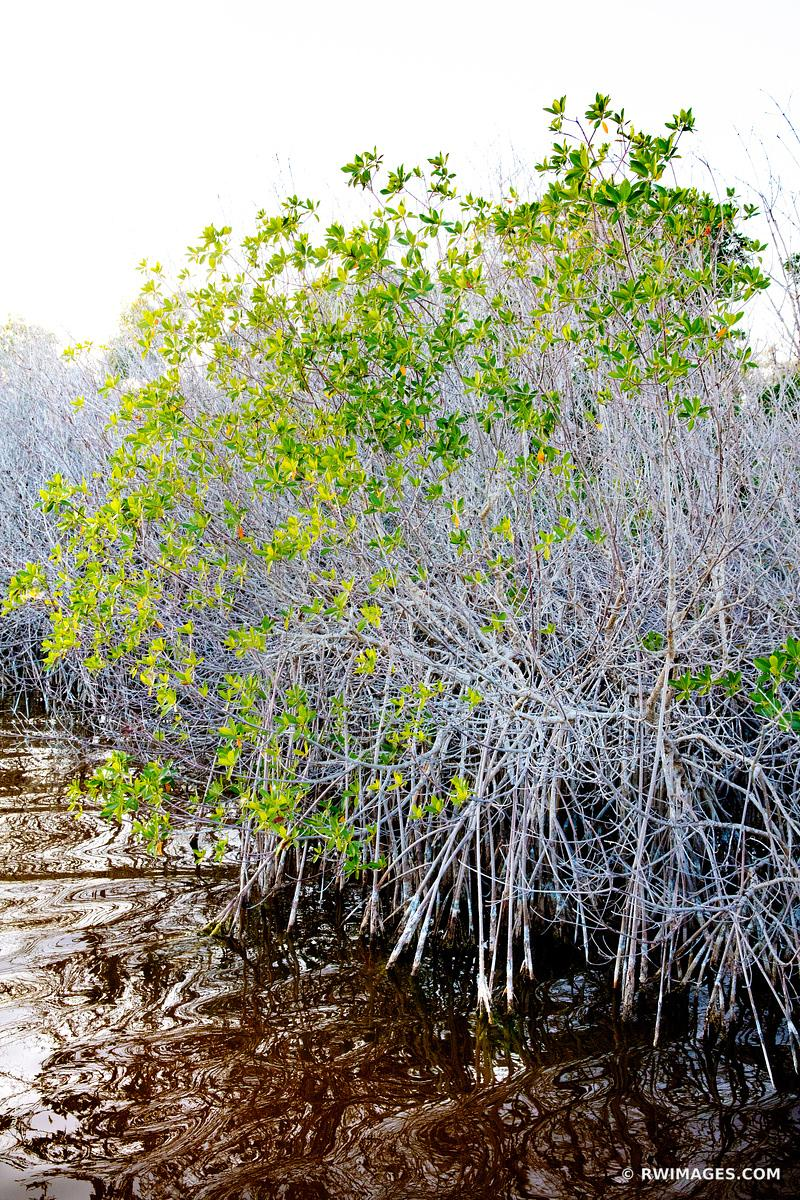 MANGROVES WEST LAKE TRAIL EVERGLADES FLORIDA VERTICAL