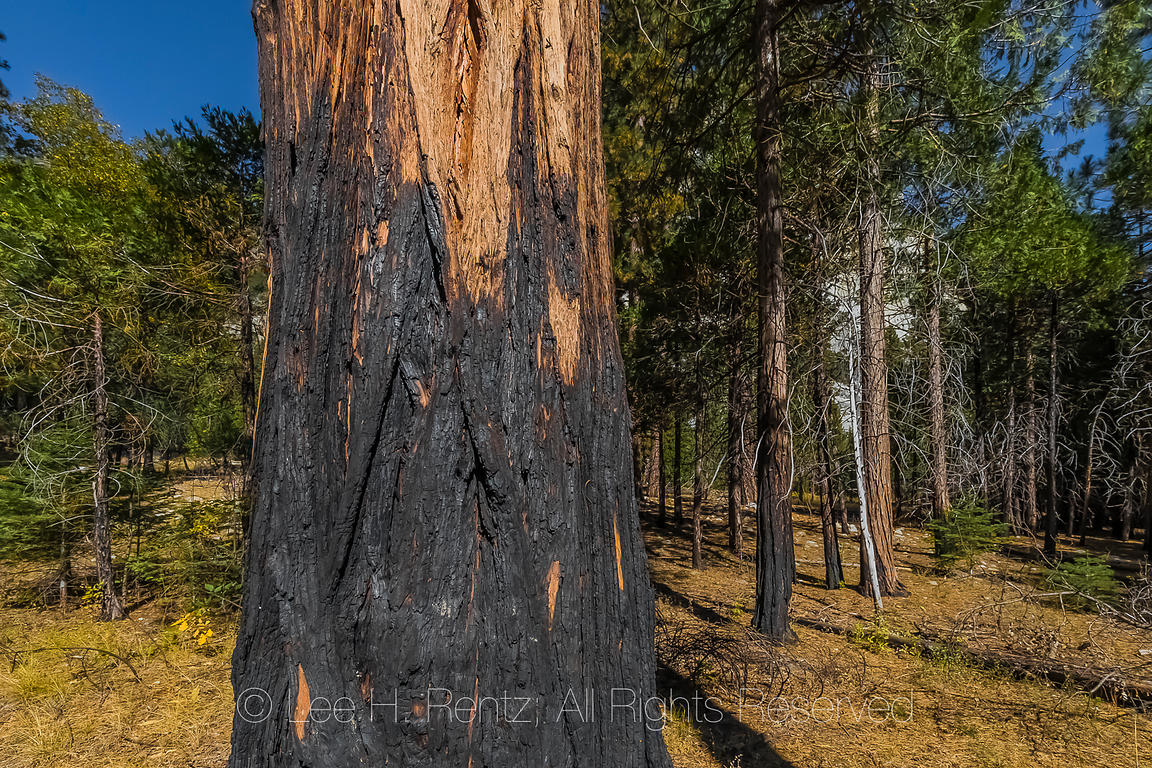 Incense-cedar at Cedar Grove in Kings Canyon National Park