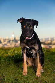 Shepherd Mix Puppy Sitting on San Francisco Hill with Tongue Poking Out