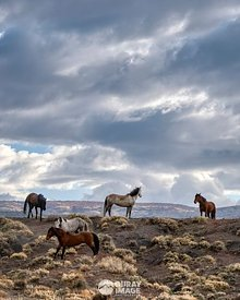 Band of Wild Horses on a Ridge in Southwest Colorado - Vertical