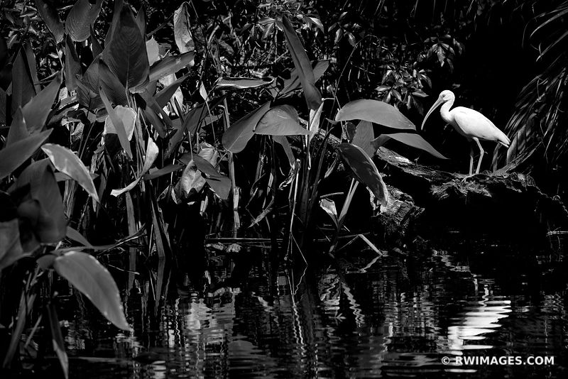 IBIS BIG CYPRESS BEND FAKAHATCHEE STRAND PRESERVE STATE PARK EVERGLADES FLORIDA BLACK AND WHITE