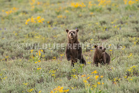 grizzly_bear_tetons_06202020-128