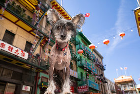 Chinese Crested Dog With Large Ears in Chinatown