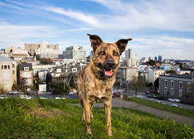 Brindle Coated Shepherd Mix Dog Standing on San Francisco Hill