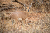 Steenbok, Raphicerus campestris, Balule Game Reserve, South Africa