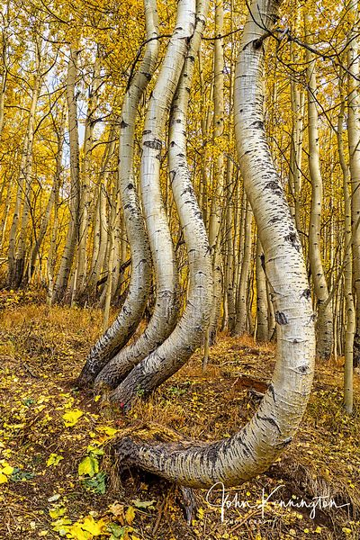 Dancing Aspens No. 10 (Vertical), Uncompahgre National Forest, Colorado