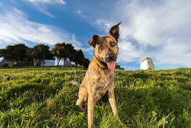 Brindle Shepherd Mix Dog Sitting on Hill in SF Park Looking Directly at  Camera