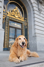 Smiling Golden Retriever Lying in Front of SF City Hall
