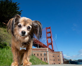Close-up Papillon Mix Dog at Fort Point and Golden Gate Bridge