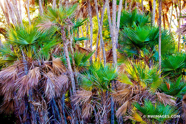 PAUROTIS PALM TREES MAHOGANY HAMMOCK TRAIL EVERGLADES FLORIDA