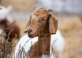 Close-up brown Goat with Eyes Closed Looking Left