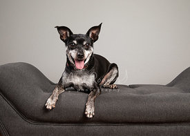 Studio Photo of Smiling Chihuahua Lying on Gray Couch