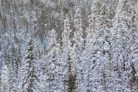 Snowy Coniferous Forest in Newfoundland
