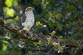 September - Cooper's Hawk (juvenile)
