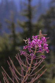 Fireweed along the Snow Lake Trail