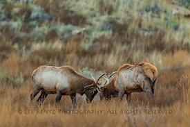 Mature Bull Elk Fighting for Harem Dominance in Chaco Canyon