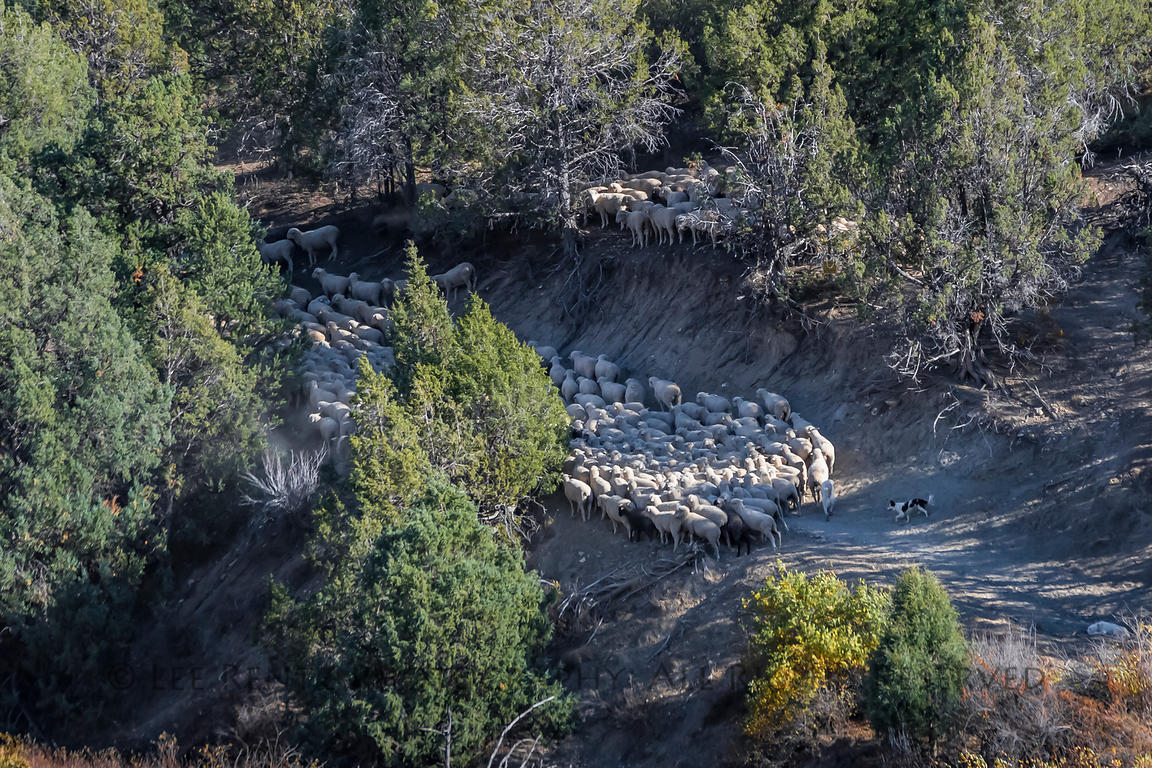 Sheep Being Herded in the Mountains of Utah