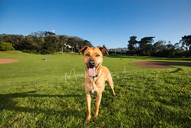 Smiling Tan Dog in Golden Gate Park Field