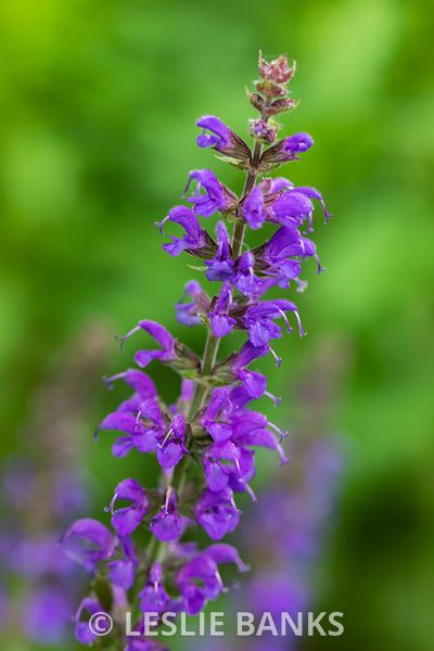 Purple May Night Salvia Plant in Bloom