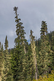 Tall Conifer Trees along the Snow Lake Trail