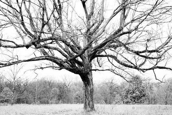 TREE IN A MEADOW | CHICAGO NORTH SHORE RYERSON WOODS FOREST PRESERVE RIVERWOODS ILLINOIS MIDWEST LANDSCAPE NATURE BLACK AND W...