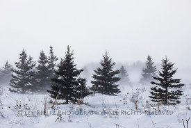 Conifers in a Snow Squall in Michigan
