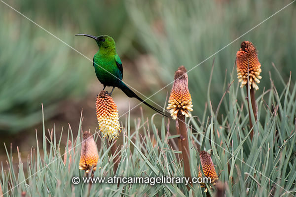 Malachite sunbird feeding from red hot poker, Nectarinia famosa, Sani Top, Lesotho