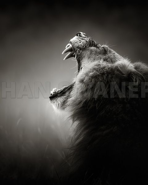 Lion yawning  - b&w fine art portrait
