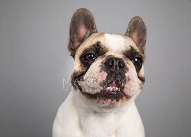 Happy  French Bulldog Studio Portrait on Gray Blackground