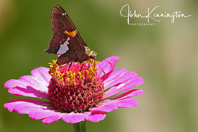 Silver-spotted Skipper on Zinnia, Bixby, Oklahoma