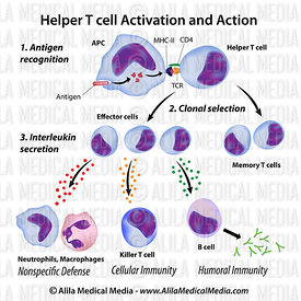Immune system basics: Function of T helper cells