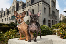 Two Chihuahua Mix Dogs Sitting Next to Each other near Cathedral School in SF