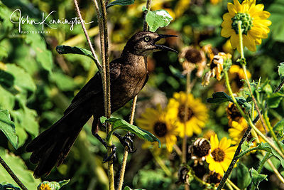 Female Great-tailed Grackle in Sunflowers, Rockport, Texas