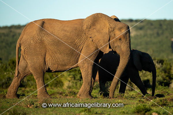 African elephant with young, Loxodonta africana africana, Addo Elephant National Park, South Africa