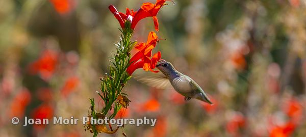Hummingbird_Fall_Magic_I
