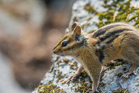 Yellow-pine Chipmunk along the Snow Lake Trail