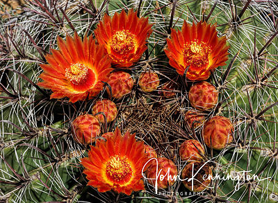 Fishhook Barrel Cactus No. 12, Organ Mountains-Desert Peaks National Monument, New Mexico